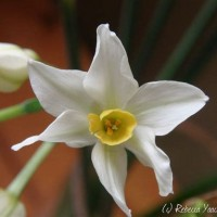 Narcissus Flower Meaning In Tamil Best Flower Site